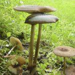Don Pendergast - Oudemansiella radicata
