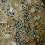 Bull's eye Lichen