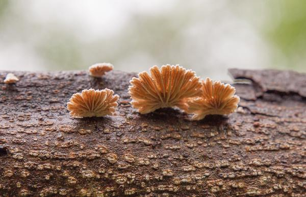 Schizophyllum commune - Split gills