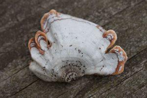 Stereum ostrea (False Turkey-tail) by Richard Jacob