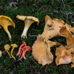 Basidiomycete Fungi (non-gilled).5 Chanterelles & Black Trumpets