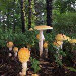 Basidiomycete Fungi (gilled).1.Amanitoid - Amanita