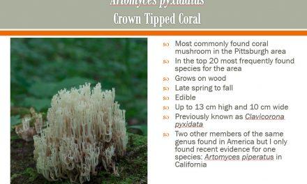 Coral fungi of Western PA