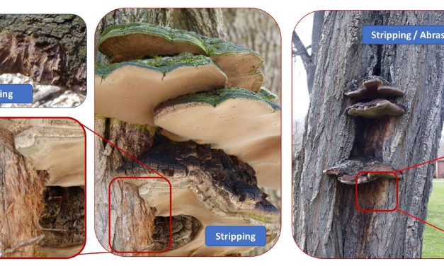 Observation of Behavioral Interactions Between Forest Fauna and the Cracked Cap Polypore Using iNaturalist Data